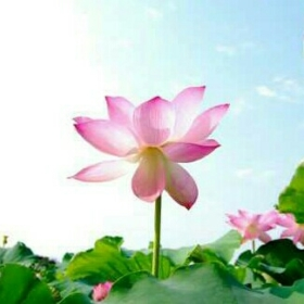 lotuscicegii