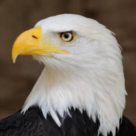 eagle0684